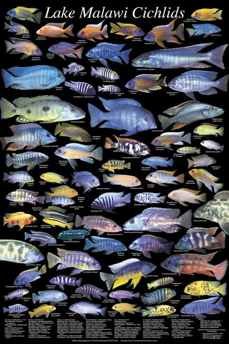 Why are oceans underwater full of colour but fresh for Lake malawi fish